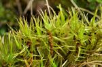 Crisped Fork-moss (Dicranum bonjeanii)